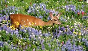 animal-deerinmeadow-altavistahilleast-paradmora-8-13-2012sdredman_crp1